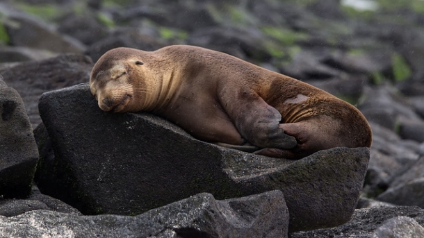 Sleeping Seal Pregnant maternity leave